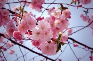Körbärsträden står i blom, men det ser inte vi, titta på korn och sikte, annars blir det bom!